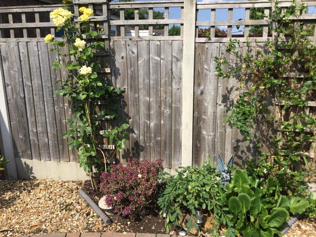 Jacks-garden-roses